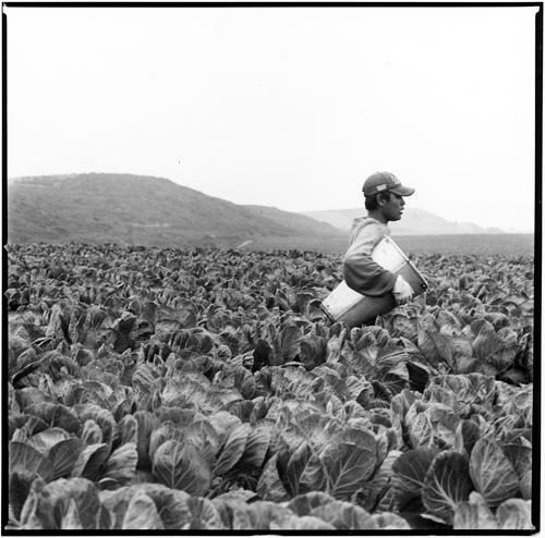 Brussel Sprouts Picker — Madeleine Graham Blake