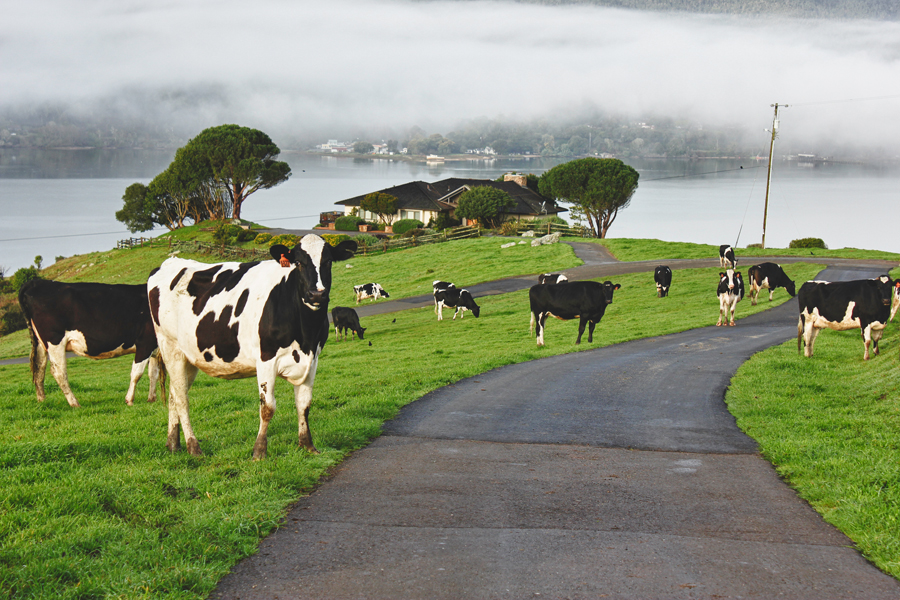 Alonso Reynoso, Cows on the road, 2011