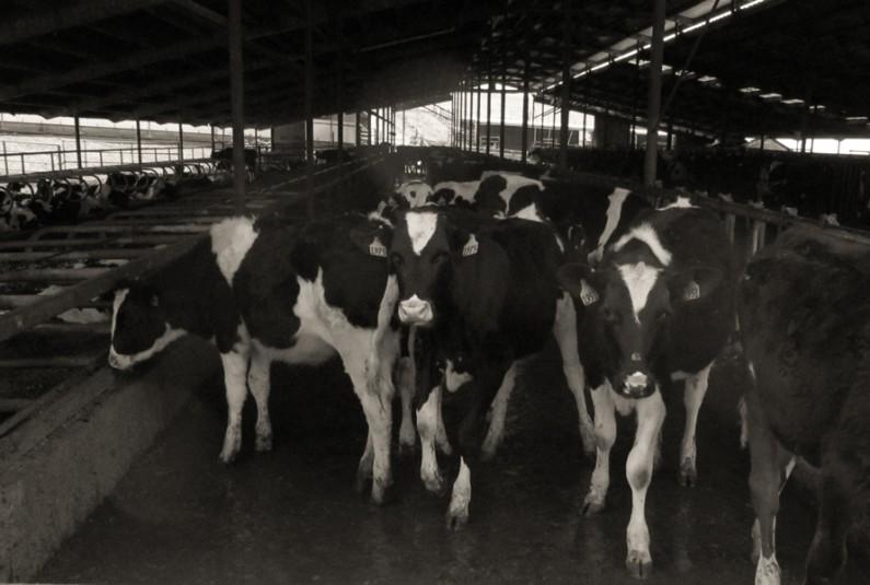 Mario Garcia, Vaquillas Esperando su Comida (Heifers Waiting to be Fed)