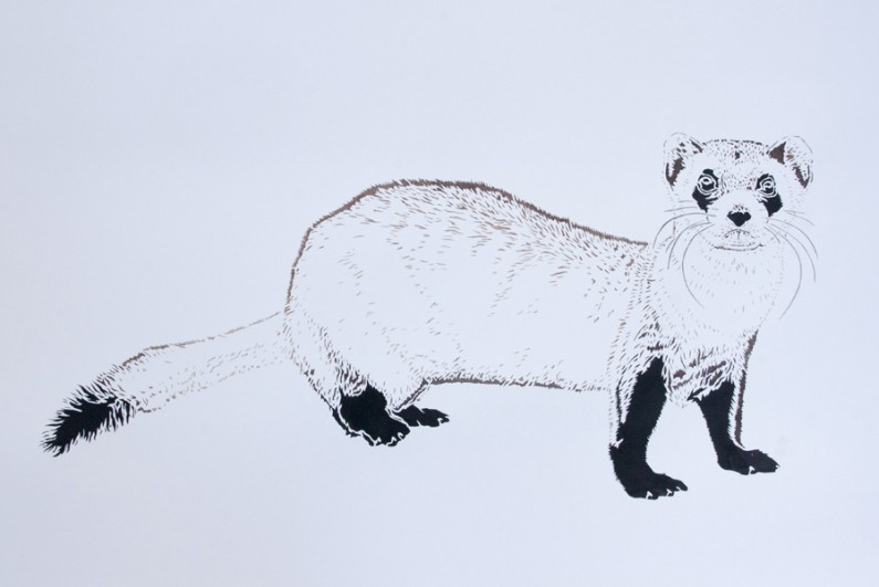 Xander Weaver, Black Footed Ferret, 22x30-ins, watercolor-monoprint stencil