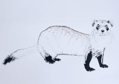 Xander Weaver-Scull, Black Footed Ferret, watercolor, monoprint, stencil
