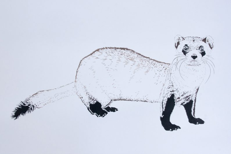 Xander Weaver-Scull, Black Footed Ferret, watercolor, monoprint, stencil
